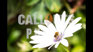 White Osteospermum Flower with Bee Closeup