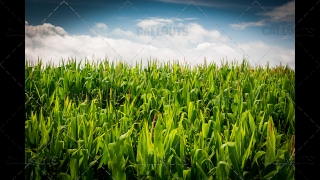 Corn Field with Blue Cloudy Sky