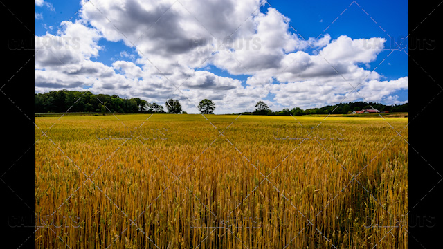 Wheat Fields and Farm, Blue Sky Background