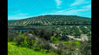 Olive Trees Plantation Fields