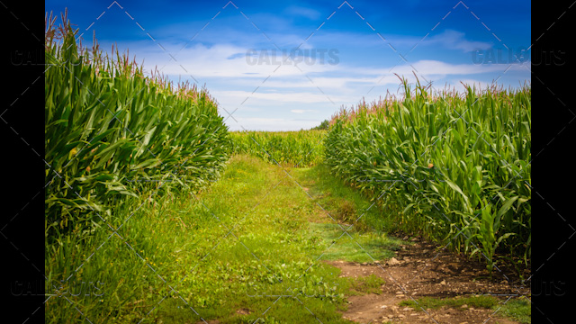 Tractor Road in Corn Fields