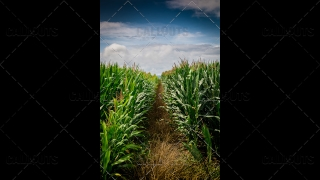 Corn Field Row with Blue Sky