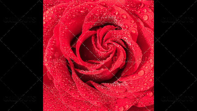 Wet Red Rose Closeup