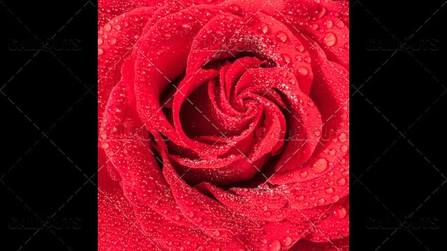 Wet Red Rose Closeup
