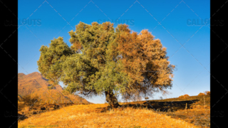 Partly Burnt Olive Tree