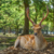 Free sacred Sika deer in Nara Park, Japan