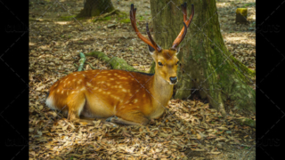 Free sacred Sika deer in Nara Park, Japan