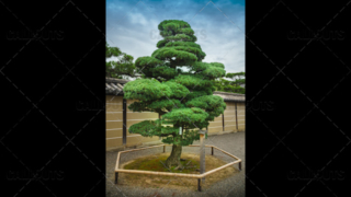Temple park tree, Kyoto, Japan.