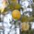 Closeup Shot of Lemon Branch with Yellow Lemons