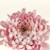 Beautiful Pink Dahlia Close-up, Slow Pan Down. White background.