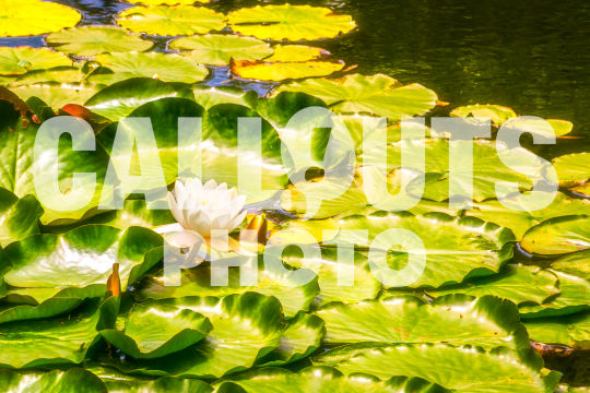 Lotus flower with leaves in pond